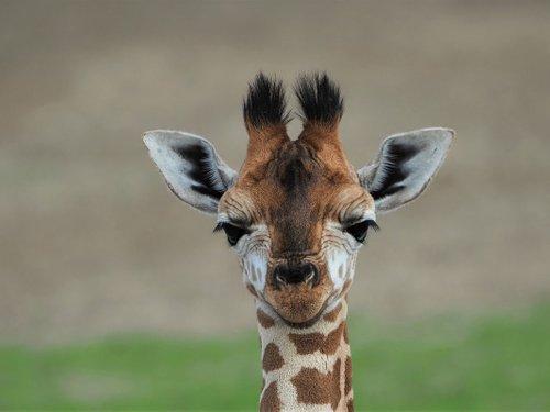 <h4>Giraffenveulens</h4>