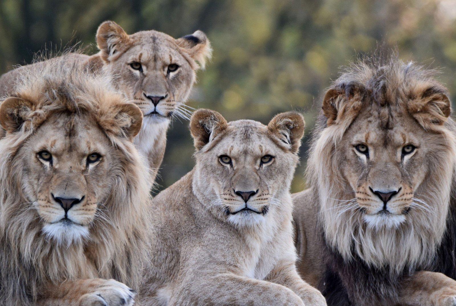 Leeuw beekse bergen - Tafel leeuw ...