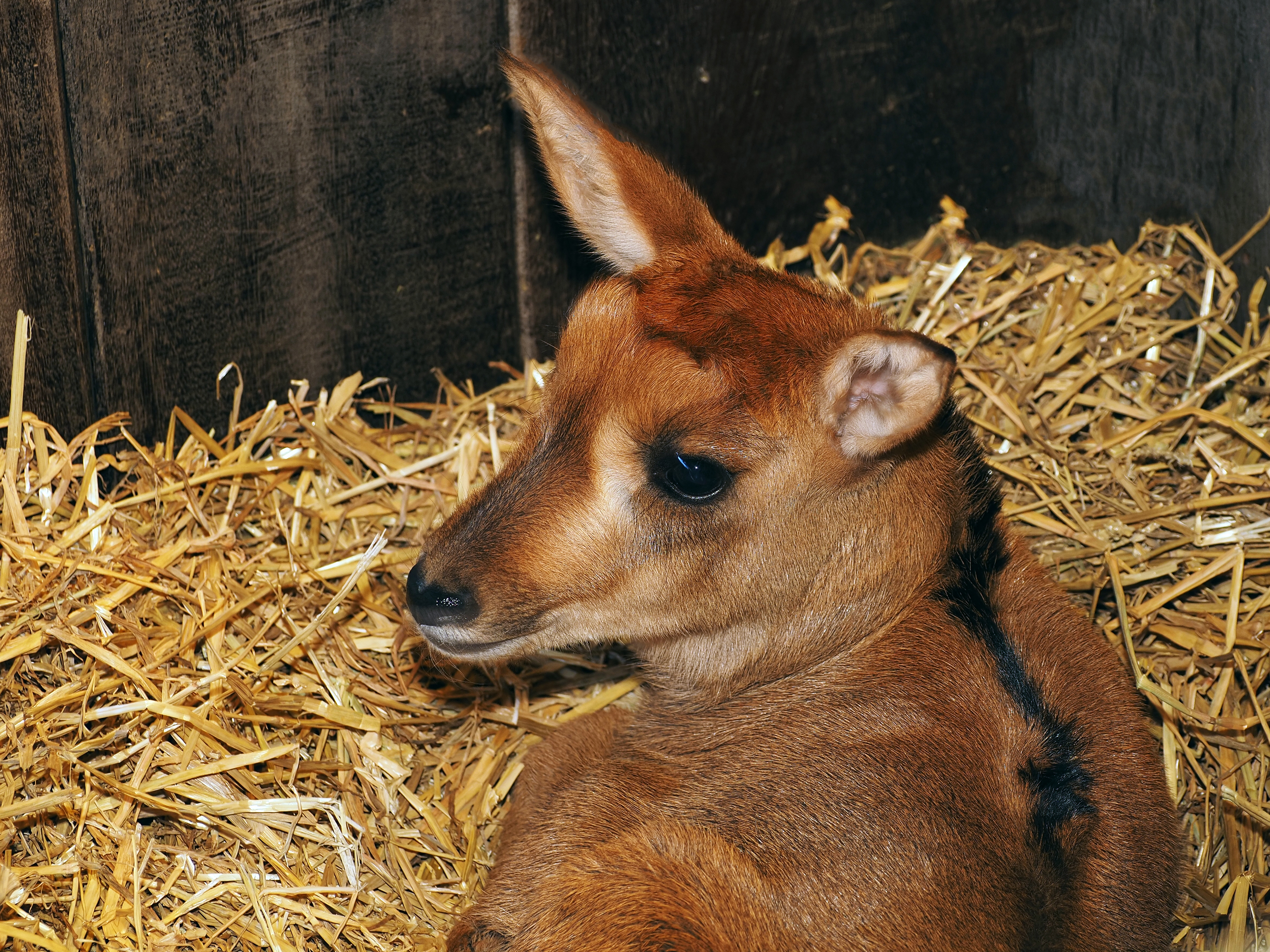 antilope-suus-1.jpg