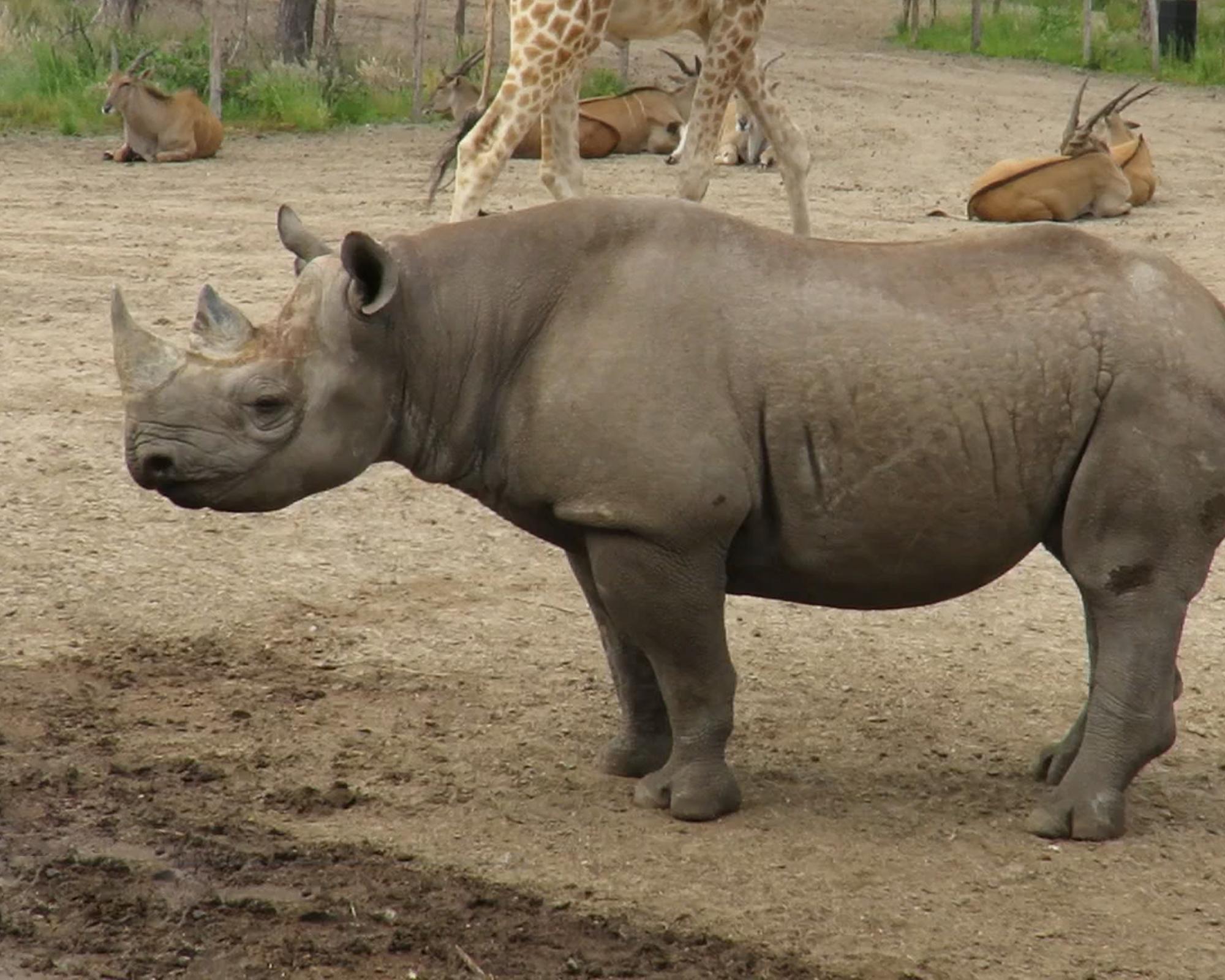 safaripark-beekse-bergen-zwarte-neushoorn-still-2000x1600.jpg